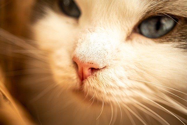 Cat Nose Animal Pet Kitten Feline  - Flotograph / Pixabay