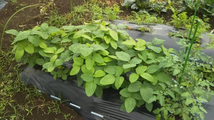 枝豆とトマトを隣に植える